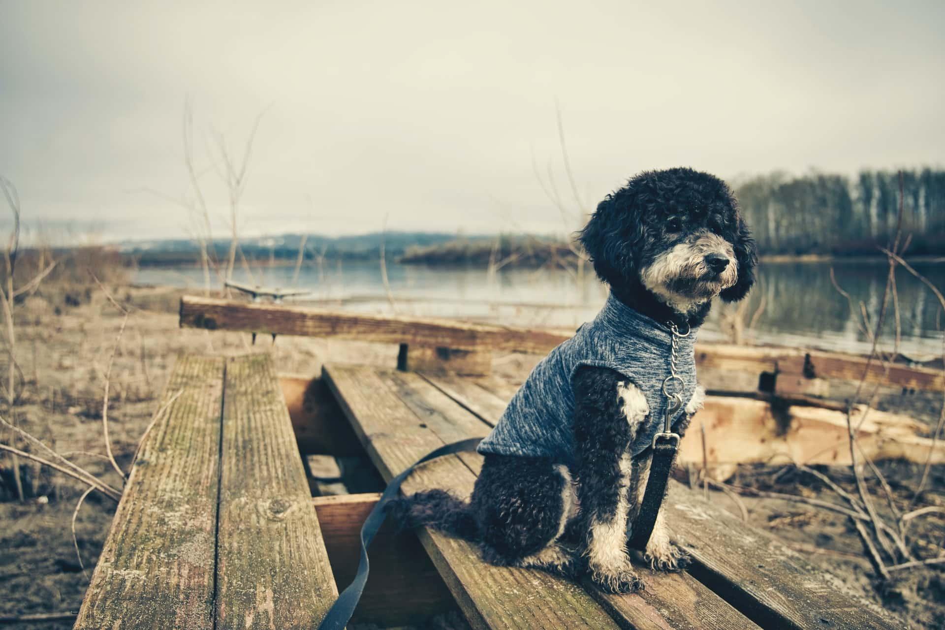 Guide Bathing Goldendoodle Dog Header Image