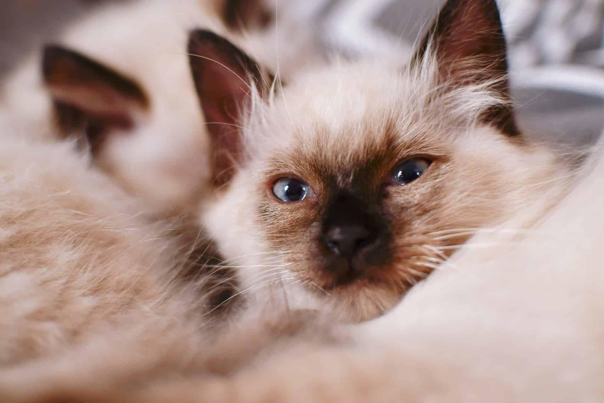 Cat Breeds Kids Article Image 8